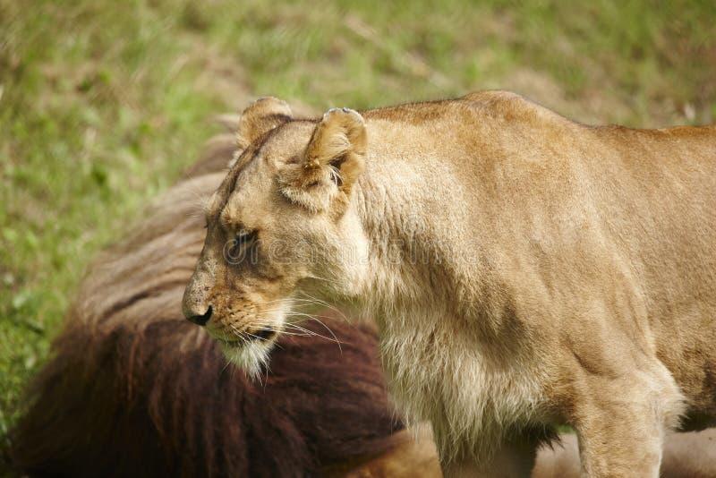 Download Fim-acima das leoas foto de stock. Imagem de perigo, oriental - 29848380