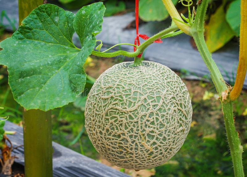 Fim acima das redes verdes frescas dos melões, melões do fruto do melão da rocha ou do cantalupo com as plantas da folha que cres fotos de stock royalty free