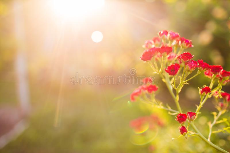 Fim acima das rosas de bebê cor-de-rosa no jardim com fundo do nascer do sol Lugar para a mensagem postcard fotos de stock