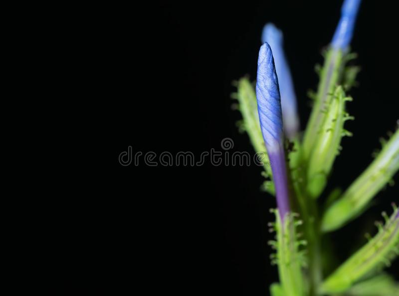 Fim acima de Bud Flower do Leadwort do cabo isolado no fundo preto com espaço da cópia fotos de stock royalty free