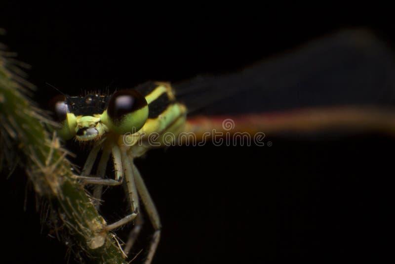 Fim acima de Coenagrionidae na folha verde com fundo preto fotografia de stock