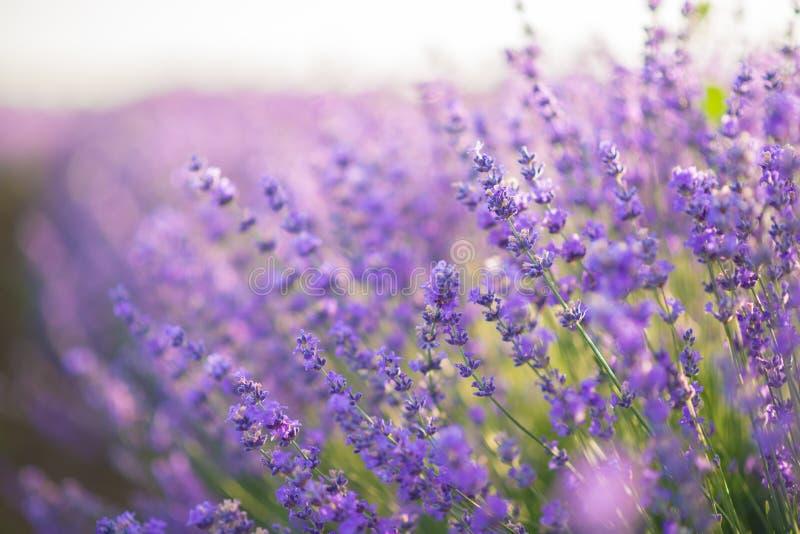 Fim acima de flores da alfazema em um campo da alfazema sob a luz do nascer do sol fotos de stock