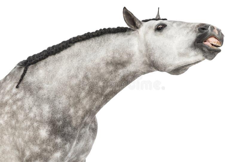 Fim-acima de uma cabeça andaluza, 7 anos velha, fazendo uma face, esticando seu pescoço, igualmente conhecido como o cavalo espanh foto de stock royalty free