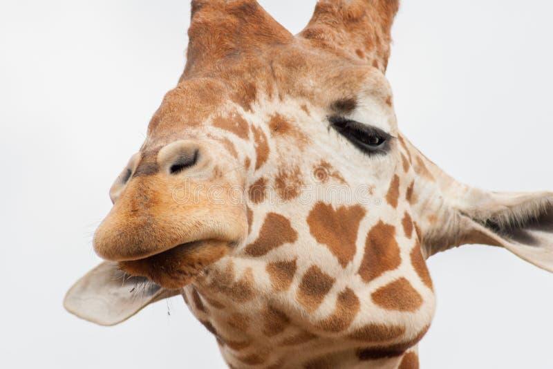 Fim-acima de uma cabeça do girafa imagens de stock royalty free