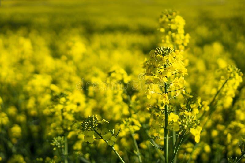 Fim acima do canola ou da couve-nabi?a de floresc?ncia da colza no Brassica Napus do latino, planta para a energia e a ind?stria  fotos de stock