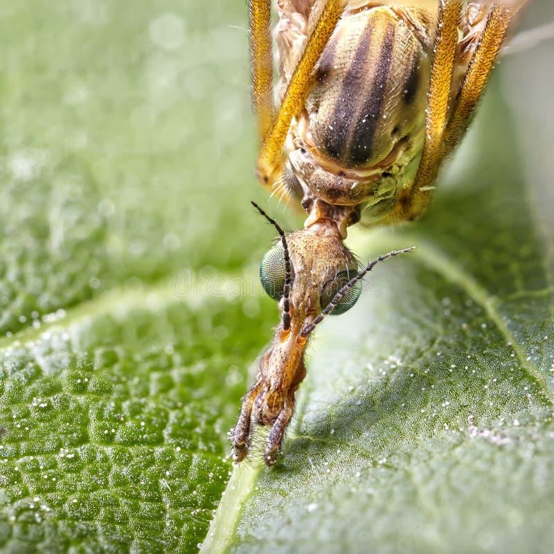 Fim acima do empilhamento do foco - grande Guindaste-mosca, mosca de guindaste, Cranefly gigante, máximos de Tipula imagem de stock