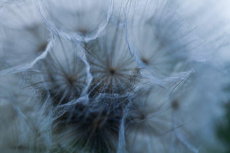 Fim acima do fundo abstrato das sementes do dente-de-le?o Crescimento de flores natural d?ndi para fora Teste padr?o isolado macr fotografia de stock royalty free