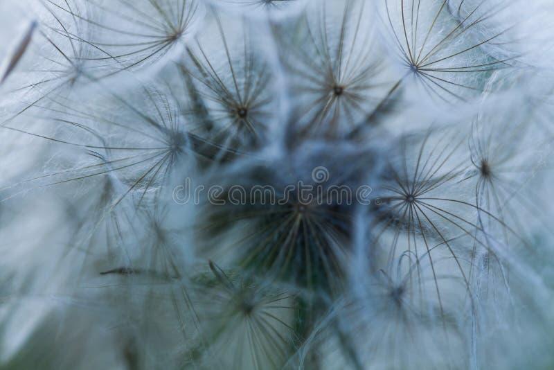 Fim acima do fundo abstrato das sementes do dente-de-le?o Crescimento de flores natural d?ndi para fora Teste padr?o isolado macr imagem de stock royalty free
