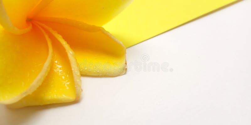Fim acima do fundo amarelo com Frangipani, projeto do elemento para a mensagem, citações, colocação do texto de informação fotografia de stock