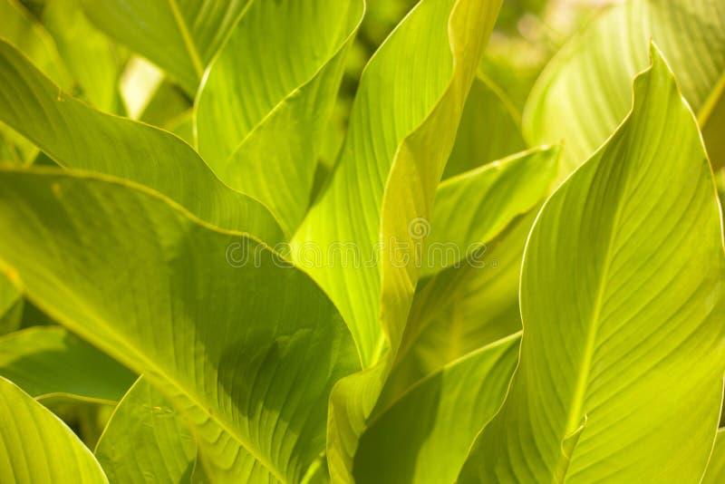 Fim acima do fundo botânico das folhas tropicais luxúrias fotografia de stock royalty free