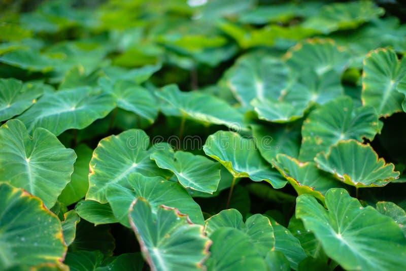 Fim acima do fundo tropical da textura do caladium da folha do verde da natureza com gota da água no fundo das folhas imagem de stock royalty free