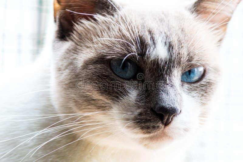 Fim acima do gato Eyed azul imagens de stock