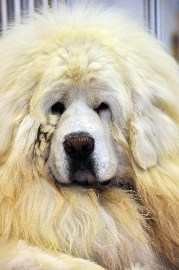 Mastiff tibetano branco fotos de stock royalty free