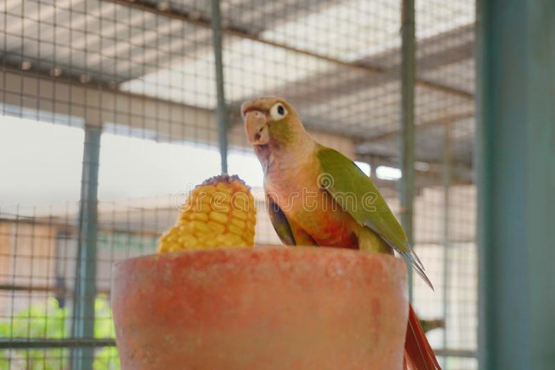 Fim acima do mordente verde Conure, papagaio bonito foto de stock