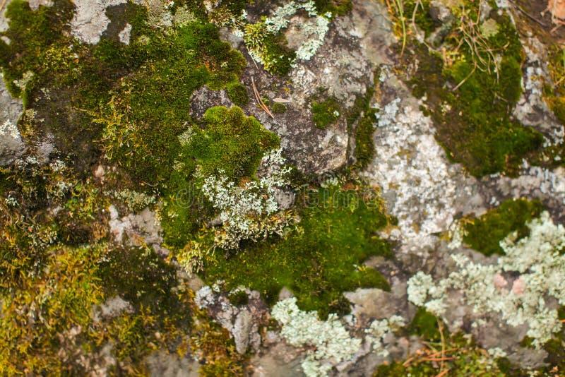 Fim acima do musgo beautyful em rochas em pedras cinzentas velhas da floresta com fundo verde da textura do musgo fotografia de stock
