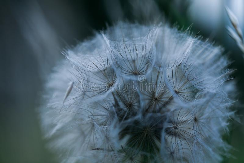 Fim acima do ramalhete abstrato das sementes do dente-de-le?o Crescimento de flores natural d?ndi para fora Teste padr?o isolado  imagens de stock royalty free