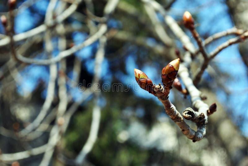 Fim acima dos botões do detalhe, dia ensolarado do ramo de árvore da castanha da mola, fundo azul obscuro do bokeh fotos de stock