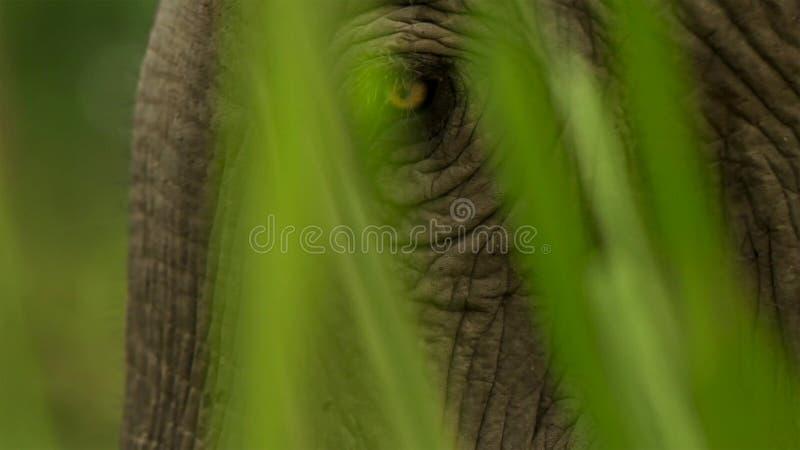 Fim acima dos olhos de elefante indiano, parque nacional de Kaziranga, Assam, Índia fotografia de stock royalty free