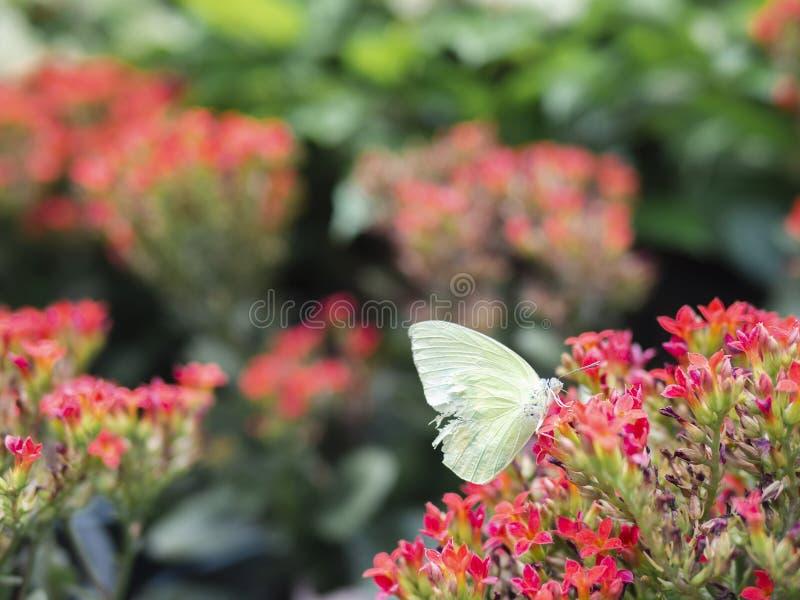 Fim acima dos rapae brancos brancos do Pieris da couve da borboleta da asa quebrada na flor vermelha com fundo verde do jardim imagem de stock royalty free