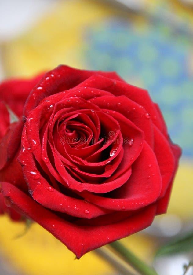 Fim agradável grande vermelho da rosa acima foto de stock