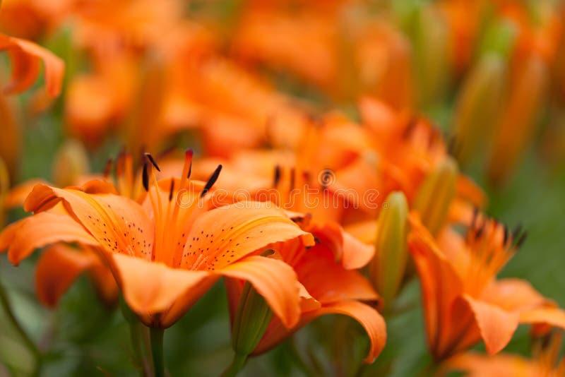 Fim alaranjado da flor do lírio acima com teste padrão do fundo do lírio fotografia de stock