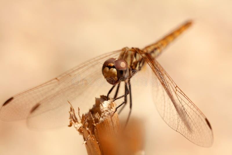 Fim alaranjado da libélula acima imagens de stock