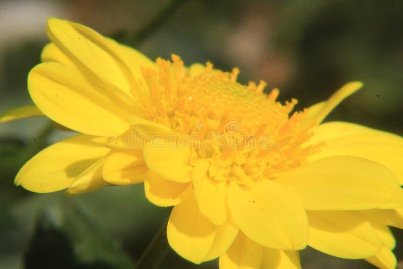 Fim amarelo bonito da flor da margarida acima, fotografia macro imagem de stock
