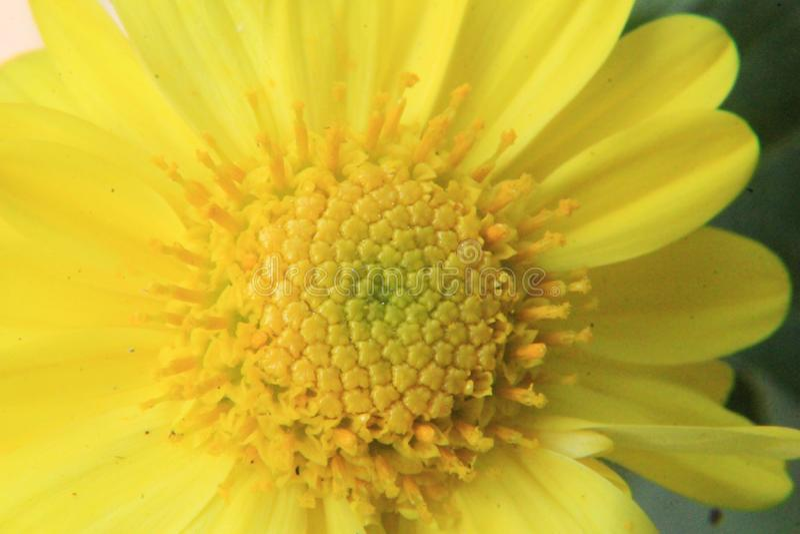 Fim amarelo bonito da flor da margarida acima, fotografia macro imagens de stock