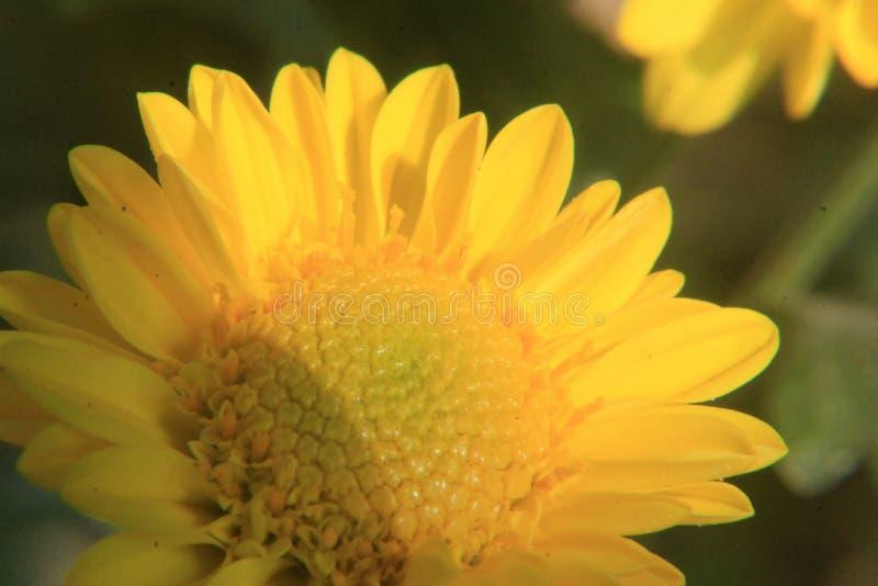 Fim amarelo bonito da flor da margarida acima, fotografia macro imagem de stock royalty free