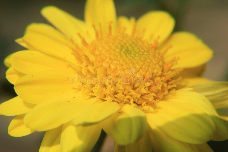 Fim amarelo bonito da flor da margarida acima, fotografia macro fotos de stock royalty free