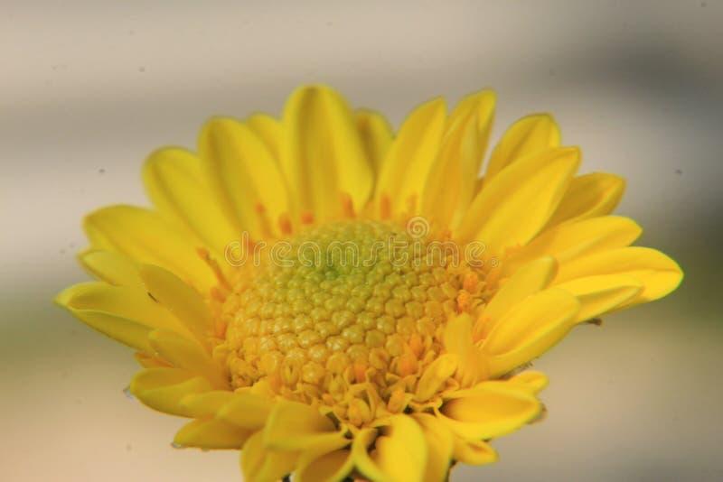 Fim amarelo bonito da flor da margarida acima, fotografia macro foto de stock royalty free