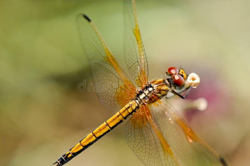 Fim amarelo da libélula acima imagem de stock