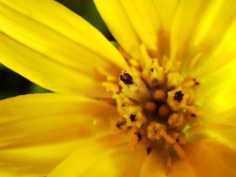 Fim amarelo do macro da flor da margarida acima fotografia de stock