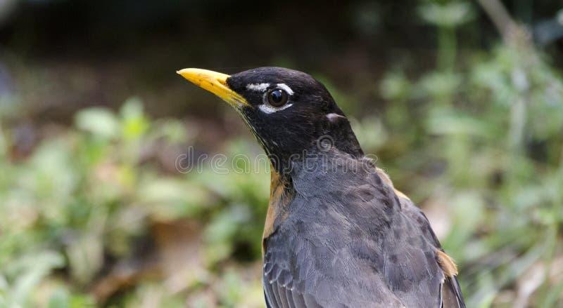 Fim americano do pássaro do pisco de peito vermelho acima, Geórgia EUA foto de stock