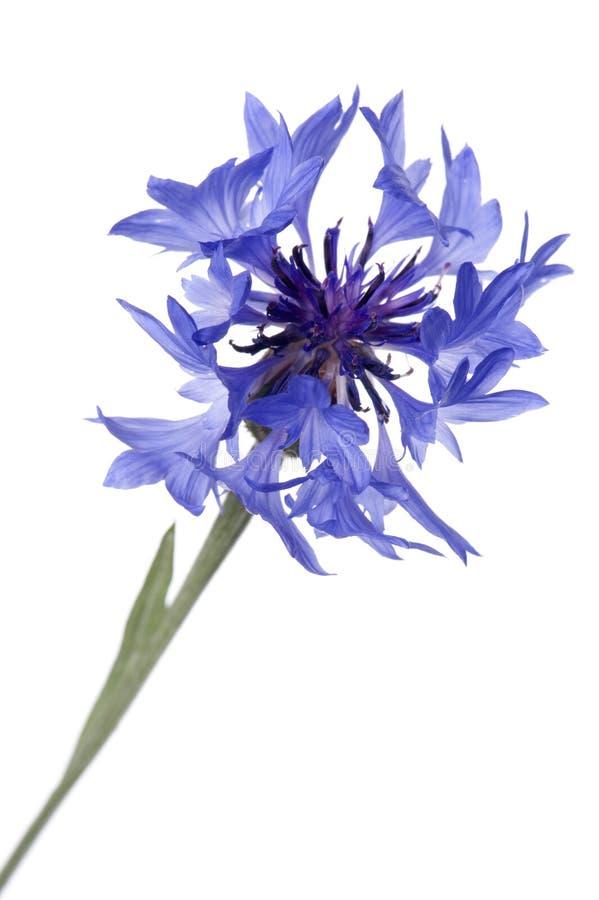 Fim azul do cornflower acima fotografia de stock royalty free