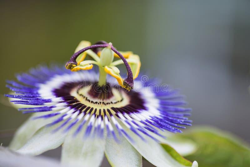 Fim bonito acima da imagem da flor da paixão na videira fotos de stock