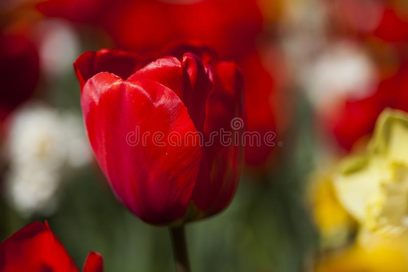 Fim bonito acima da tulipa macro imagem de stock royalty free