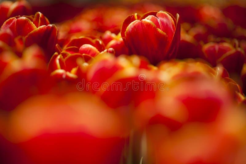 Fim bonito acima da tulipa macro fotografia de stock