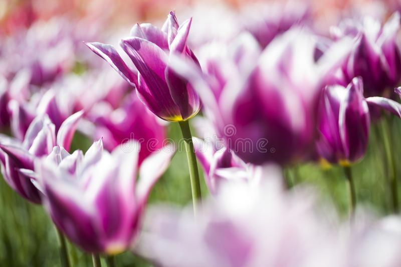 Fim bonito acima da tulipa macro foto de stock royalty free