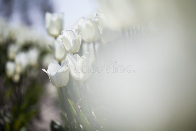 Fim bonito acima da tulipa macro foto de stock