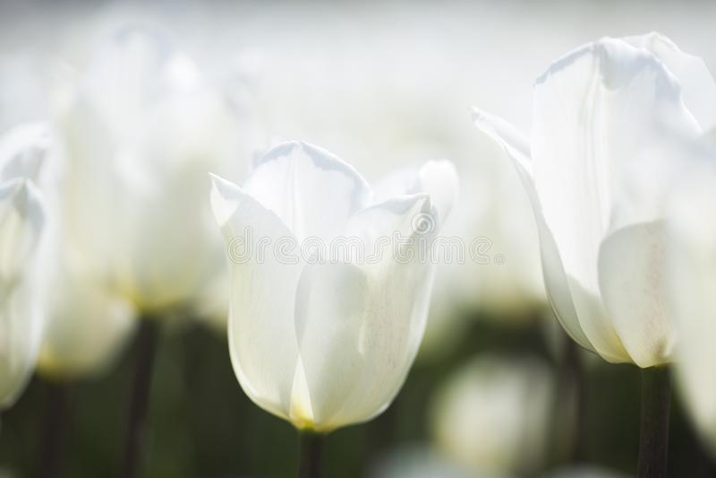 Fim bonito acima da tulipa macro imagens de stock royalty free