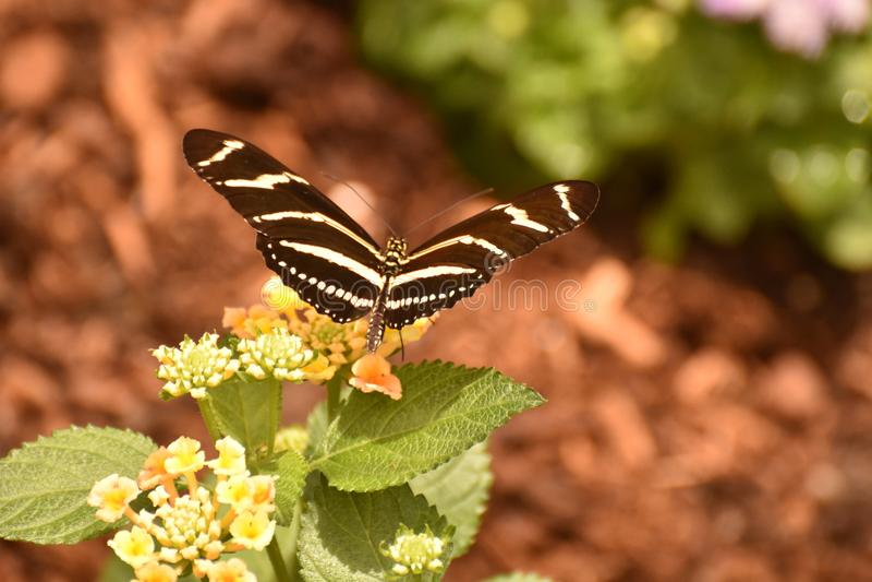 Fim bonito acima de uma borboleta da zebra no Sun imagens de stock