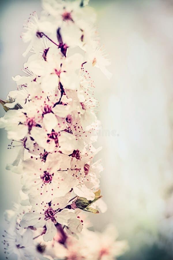 Fim bonito da flor de cerejeira acima, cor pastel imagem de stock royalty free