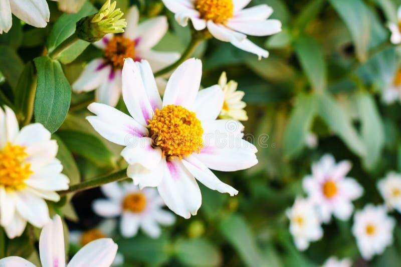 Fim bonito da flor do zinnia branco acima imagem de stock royalty free