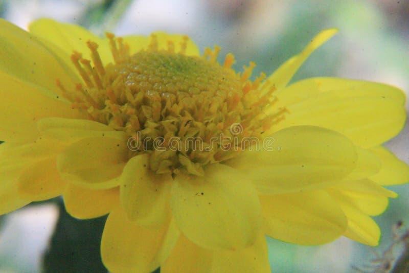 Fim bonito da flor da margarida acima, fotografia macro imagem de stock