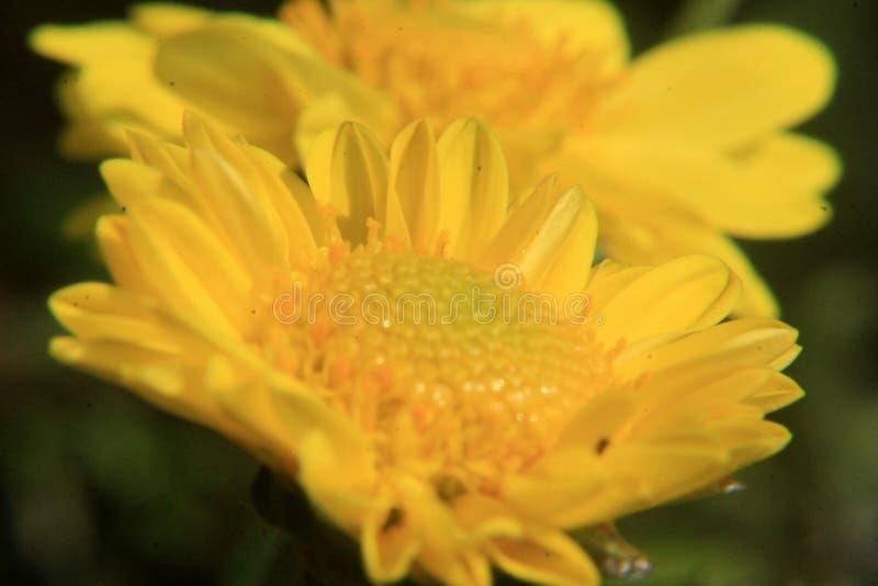 Fim bonito da flor da margarida acima, fotografia macro fotos de stock royalty free