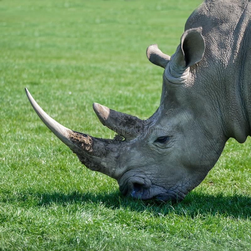 Fim bonito do perfil acima do retrato do Rh do sul do rinoceronte branco imagem de stock royalty free