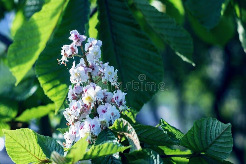 Fim branco da flor da castanha acima no fundo das folhas verdes foto de stock royalty free
