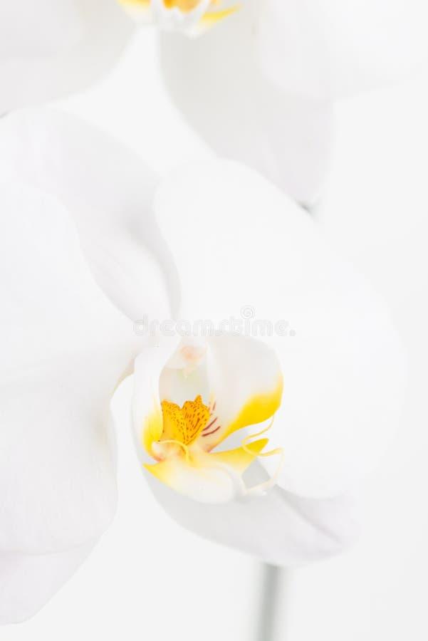Fim branco do extremo da orquídea de traça acima imagens de stock
