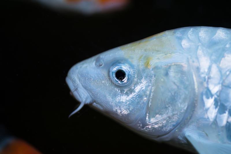Fim branco do extremo dos peixes da carpa de Koi acima imagem de stock royalty free